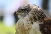 Roofzuchtige vogel — Stockfoto