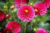 Pink Flowers  — Foto de Stock