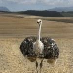 Ostriches on an ostrich farm — Stock Photo #43544989
