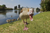 Egyptian geese — Stock Photo
