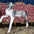 Dog on couch — Stock Photo