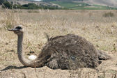Adult ostrich on eggs — Stock Photo
