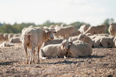 Sheep in the field — Stock Photo