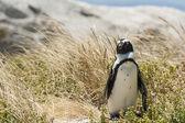 Single penguin in the grass — Stockfoto
