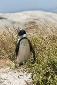 Single penguin in the grass — Стоковое фото