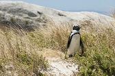 один пингвин в траве — Стоковое фото