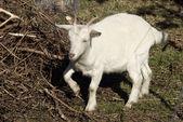 White goat — Stock Photo