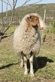 Sheep looking at camera — Stock Photo