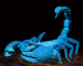 Scorpion fluorescing under ultraviolet light — Stockfoto
