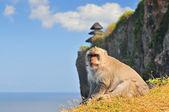 Affen (Macaca Fascicularis) in der Nähe von Pura Ulawatu Tempel. Ubud, Bali-Indonesien. — Stock fotografie