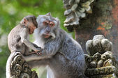 Long-tailed macaque (Macaca fascicularis) in Sacred Monkey Forest, Ubud, Indonesia — Stock Photo