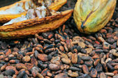Luwak coffee beans in Bali Coffee Plantage, Indonesia. — Stock Photo