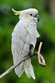 Sulphur Crested Cockatoo (Cacatua galerita), Bali Indonesia. — Stock Photo