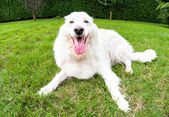 Maremma çoban köpeği — Stok fotoğraf