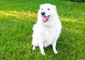 Maremma sheepdog — Stockfoto
