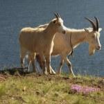 ������, ������: Goats
