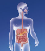 Human digestive system — Stock Photo