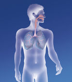 Pulmonary system — Stock Photo