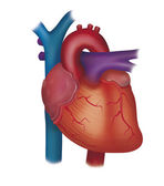 Heart system — Stock Photo