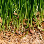 Green grass with soil close up — Stock Photo