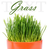 Green grass in pot isolated on white background — Stock Photo