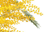 Yellow mimosa  isolated on white background — Stock Photo