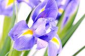Blue irises isolated on white background — Stock Photo