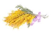 Yellow mimosa  isolated on white background — Stock Photo