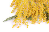 Yellow mimosa  isolated on white background — Photo