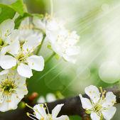 Fiori di ciliegio in primavera — Foto Stock