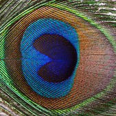 Beautiful feather of a peacock — Stock Photo
