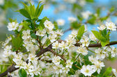 Cherry blossoms in spring — Stock Photo