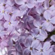 Lilac close up as a background — Stock Photo #47240101