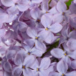 Lilac close up as a background — Stock Photo