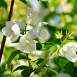 Apple blossoms in spring — Stock Photo #49946619