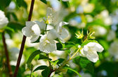 Apple blossoms in spring — Stock Photo
