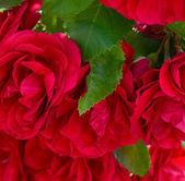 Rosa rossa come sfondo — Foto Stock