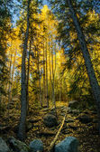 Aspen Tree Forest in the Fall — Stock Photo