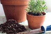 Freshly planted rosemary — Stock Photo