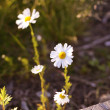 Camomile — Stock Photo #41893089