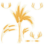 Ripe Ears wheat set. Isolated detailed template. — Stok Vektör