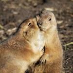 Prairie dogs — Stock Photo #49364691