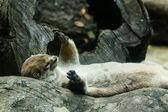 River otter — Stock Photo