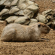 Capibara — Stock Photo #44959609