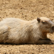 Capibara — Stock Photo #44959697