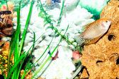 Small fish in an aquarium — Stock Photo