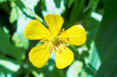 Field flower buttercup — Stock Photo
