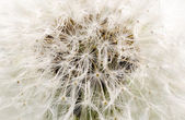 Background dandelion — Stock Photo