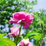 Rosebush in a garden — Stock Photo #48027515