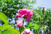 Rosebush in a garden — Stock Photo